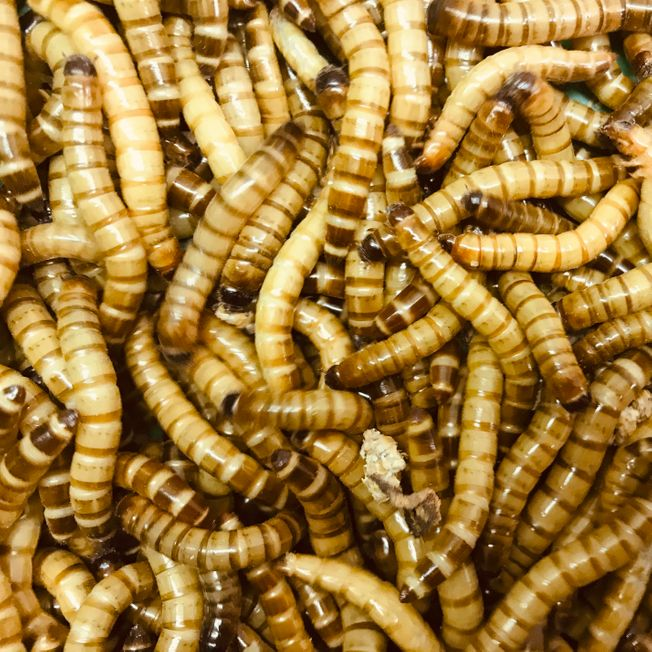 500g morio worms (approximately 850)